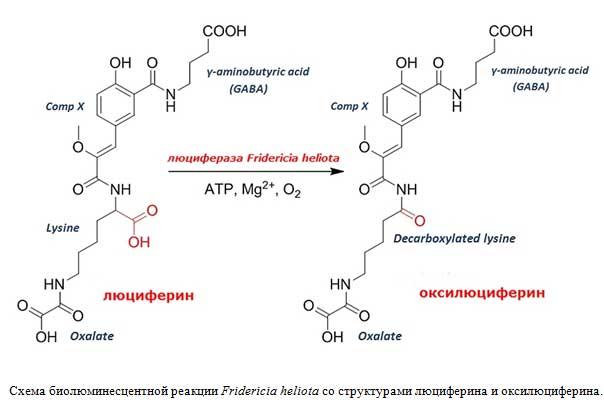 Схема биолюминесцентной реакции Fridericia heliota со структурами люциферина и оксилюциферина.