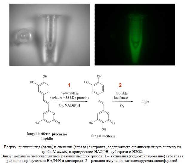 Вверху: внешний вид (слева) и свечение (справа) экстракта, содержащего люминесцентную систему из гриба N. nambi, в присутствии НАДФН, субстрата и H2O2. Внизу: механизм люминесцентной реакции высших грибов: 1 – активация (гидроксилирование) субстрата реакции в присутствии НАДФН и кислорода, 2 – реакция излучения, катализируемая люциферазой.