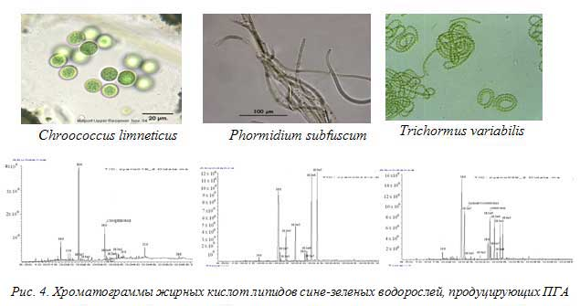 Рис. 4. Хроматограммы жирных кислот липидов сине-зеленых водорослей, продуцирующих ПГА